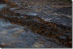 0492 - Algues rigolotes, Curio bay, Catlins vers Manapouri