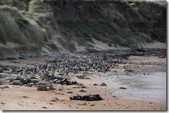 0494 - Oiseaux sur une plage (pas des pingouins), Catlins vers Manapouri