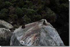 0511 - Otarie, Milford Sound