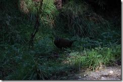 0583 - Un Kiwi, Franz Joseph vers greymouth