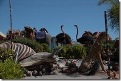 0045 - Escargot géants, Kermesse, Fezouane, Environs Oujda