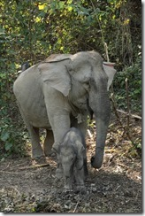 0147 - Xanabury, Environs Xanabury, Elephant Conservation Center, Zone accouchement, elephanteau