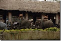 0191 - Luang Prabang, Environs Luang Prabang, Elephant village, elephants en attente